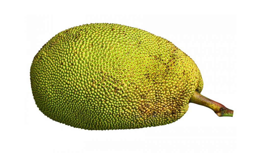 jackfruit investigatory The product utilizes the jackfruit seeds, which is a good source of carbohydrates, proteins and some nutrients needed by the chicken as feeds the jackfruit seeds were dried, cut into cubes, toasted and pounded.